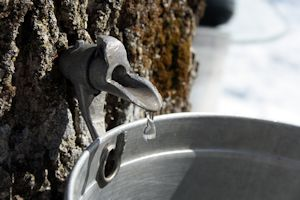 sap from maple trees in Maine